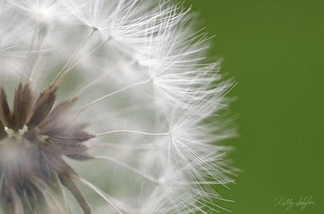 dandelion, macro lens, macro, park, grass, photos, photography