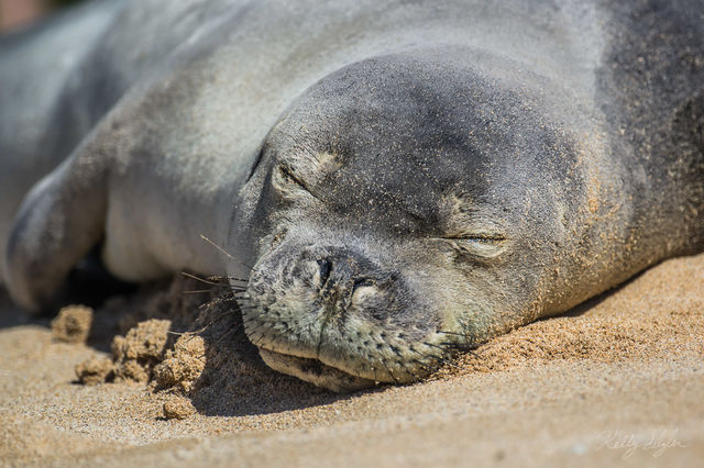 monk seal, seal, poipu beach, kauai, hawaii, island