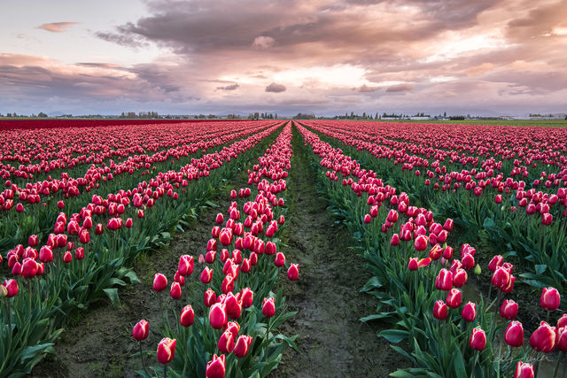 field, skagit valley, tulip fields, colors, capturing