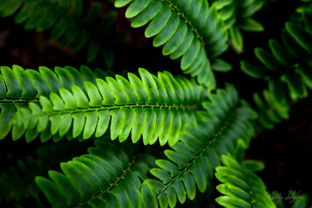 aglow, ohio, rural, woods, camera, photograph, beauty, pacific northwest, fern, texture, color, ferns, glowing, plant