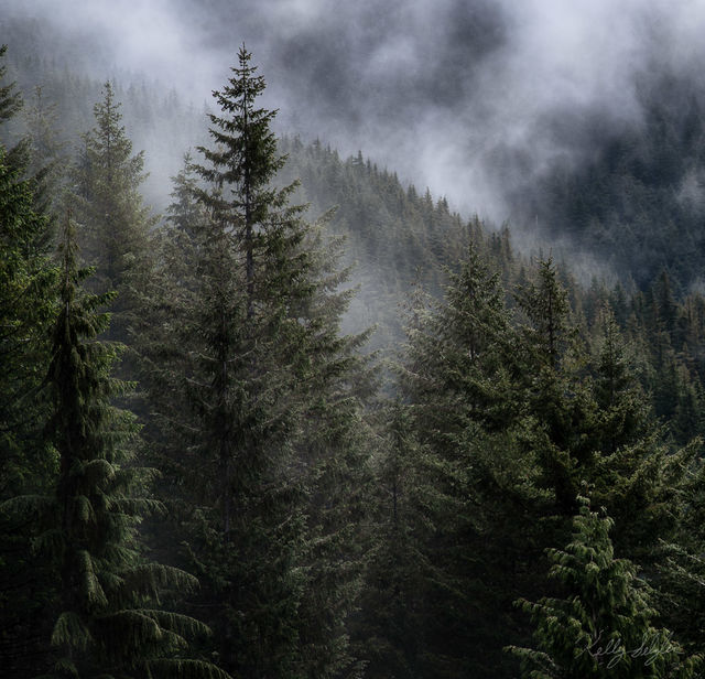 atmosphere, washington, fog, fir trees, photograph, moods, photos