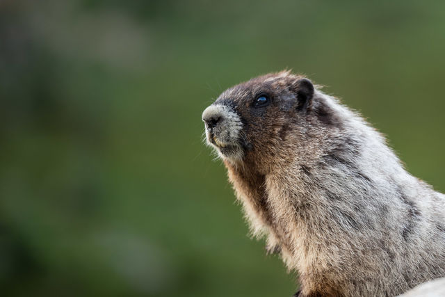 Marmot Moment