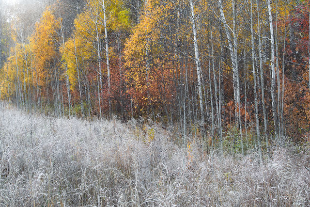 fall frost, frost, fall, softness, grass, aspens, color, sun, fog, chilly, morning, leavenworth