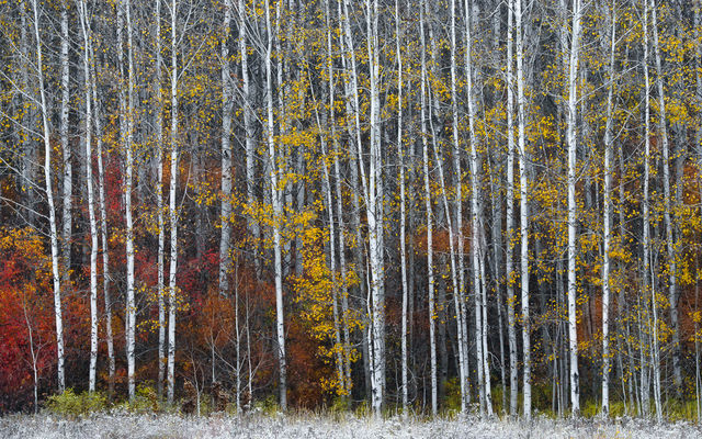 aspen, leavenworth, photographing, sunrise, mass, aspen trees, trees, capture