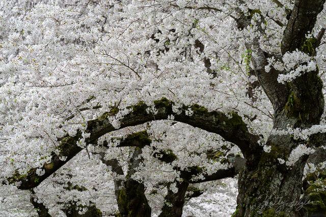 Abundant Blossoms