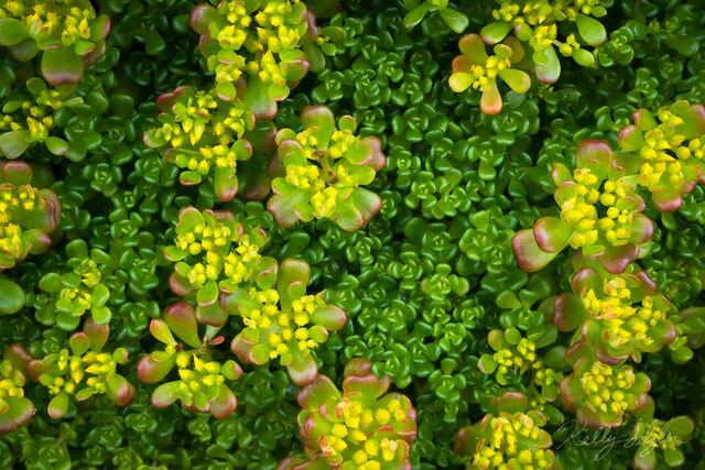 Native Succulent