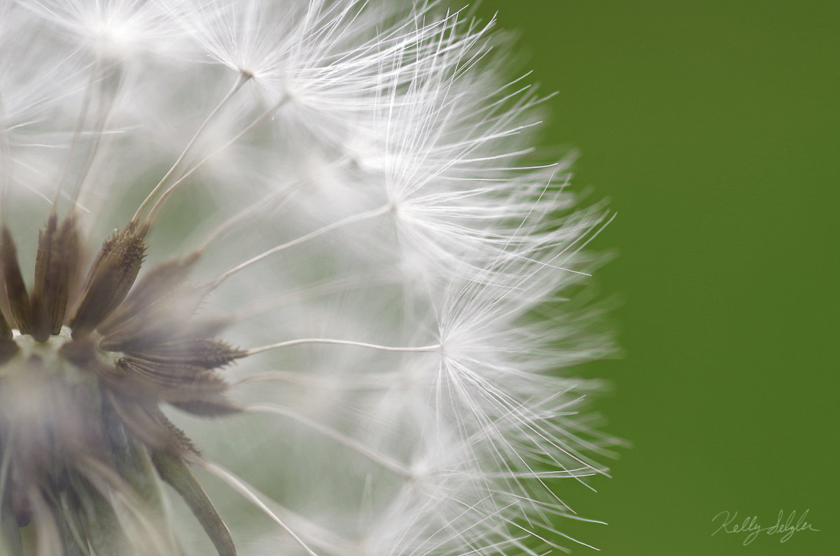 I had just gotten my macro lens and wanted to take it for a test drive. I took my daughters to the park and noticed some dandelions...