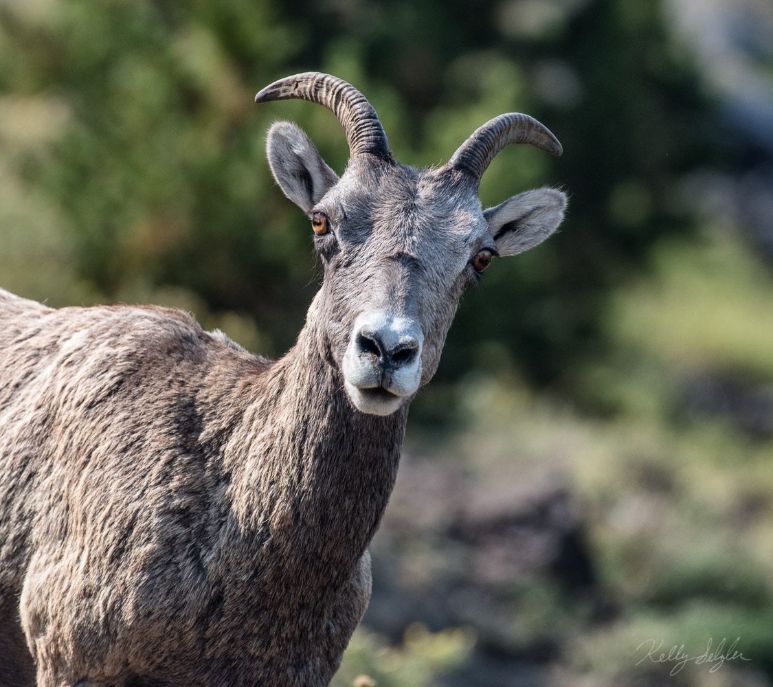 While hiking in Yellowstone, we came upon a herd of mountain sheep standing right on the trail, not budging. I did the obvious...