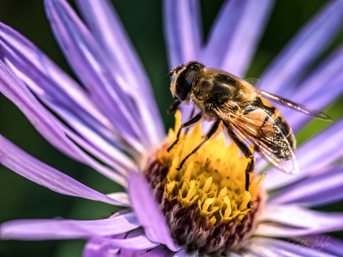 bee, glacier national park, aster, bee, flower, photo