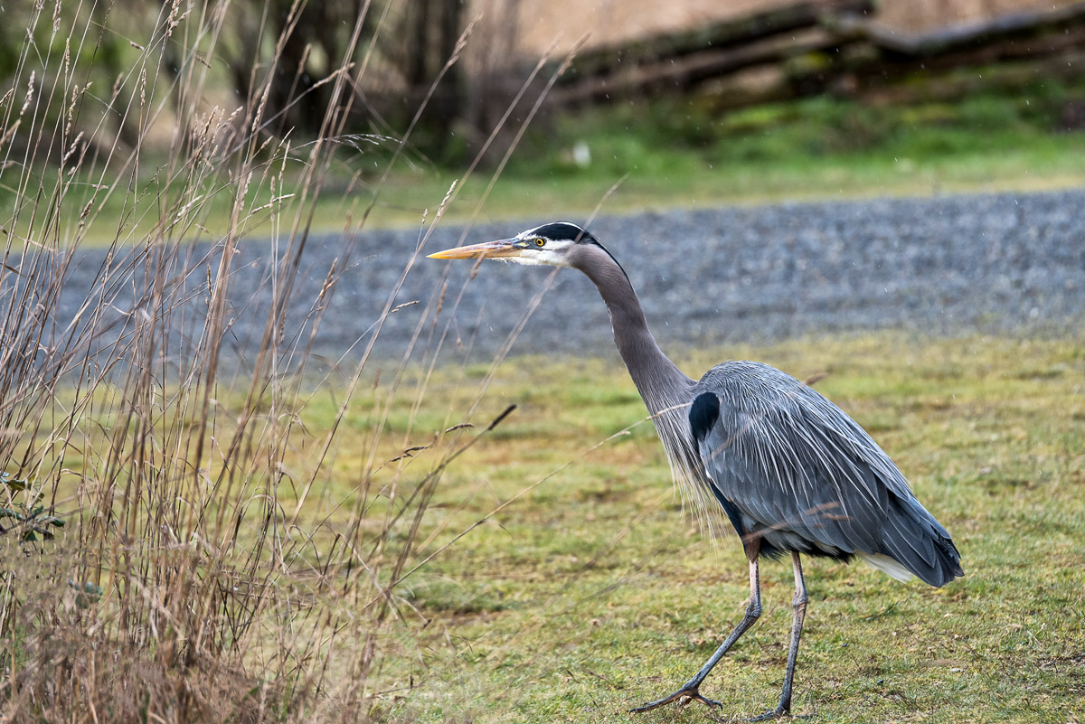 heron, great blue heron, fort nisqually, fort nisqually national wildlife refuge, photo