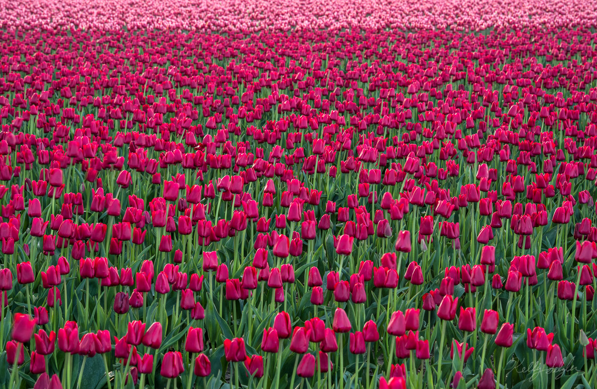 tulip, texture, skagit valley, tulip fields, lines, washington, photo