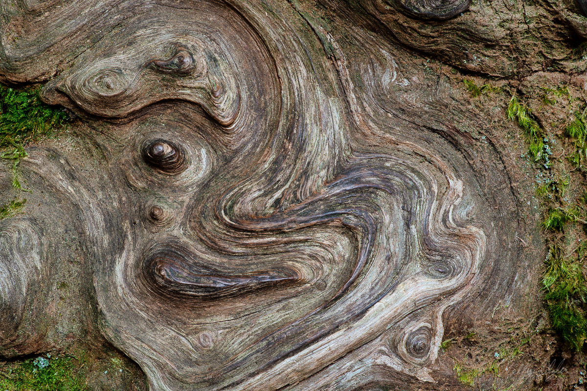 My daughter discovered the swirl patterns on this tree as we were hiking at Grove of the Patriarchs in Mt. Rainier National Park...