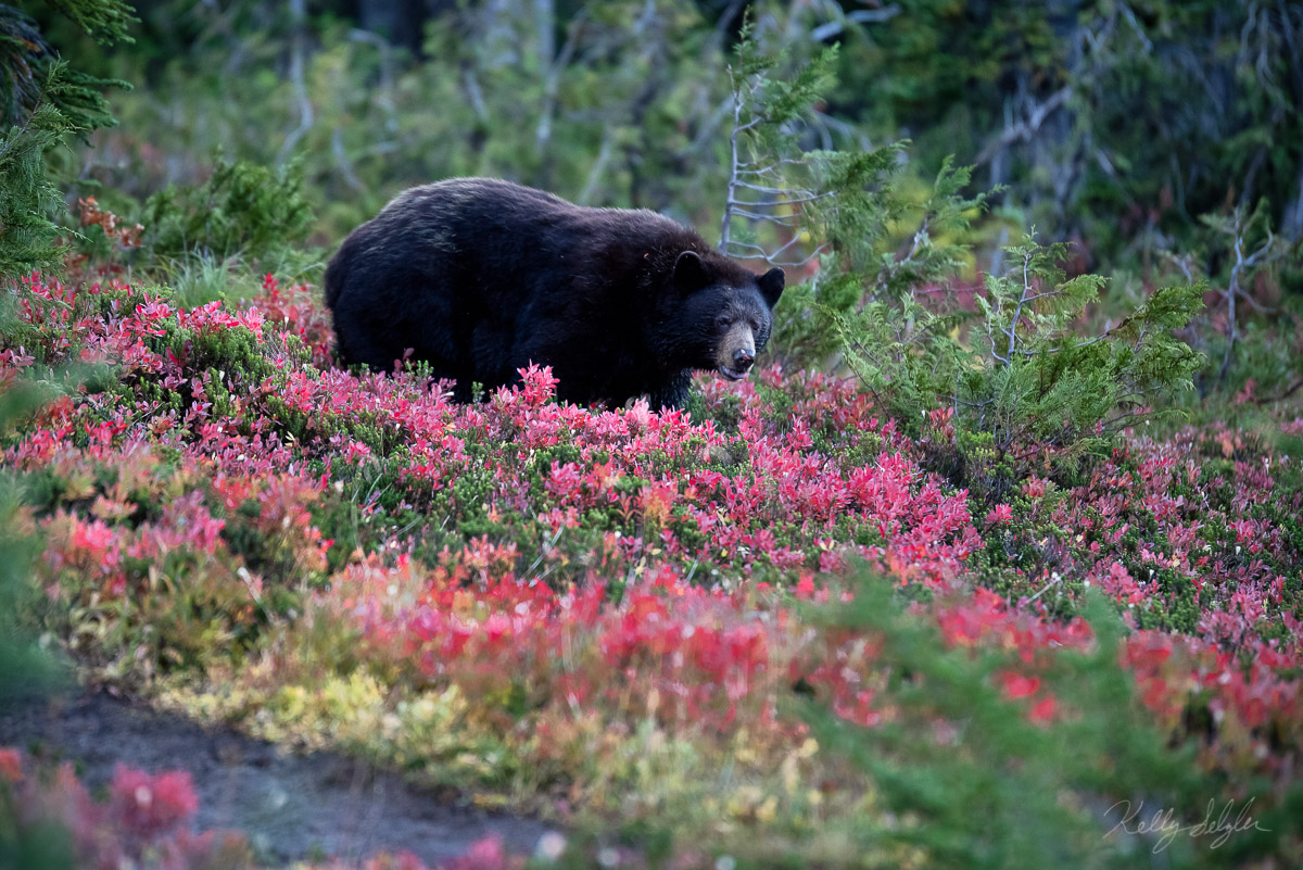 Coming out of the woods, when I first entered Spray Park, there he was. A huge black bear indulging on huckleberries. Oh, what...