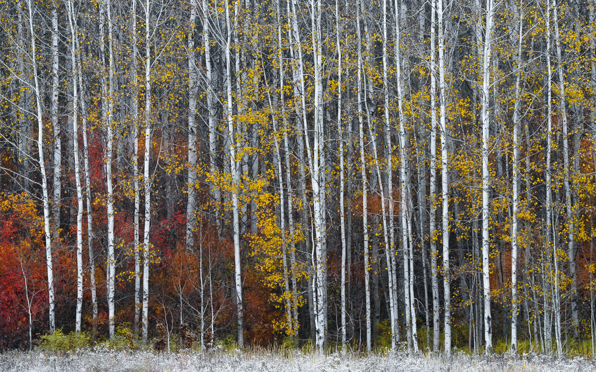aspen, leavenworth, photographing, sunrise, mass, aspen trees, trees, capture, photo