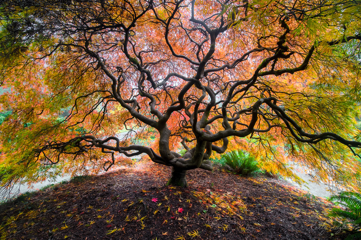 japanese maple, kubota gardens, gardens, photographing, trees, branches, fall colors, fall, colors, seattle, beautiful, quiet, autumn, photo