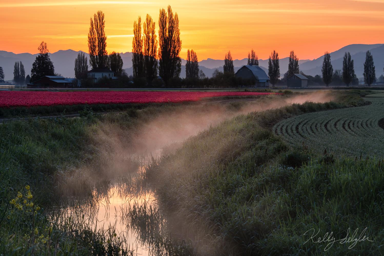 skagit valley, sunrise, tulips, photo