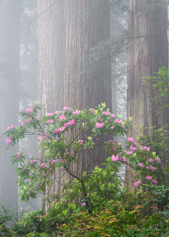 redwood, california, rhododendrons, trail, camp, gorgeous, photographer, lighting, photo