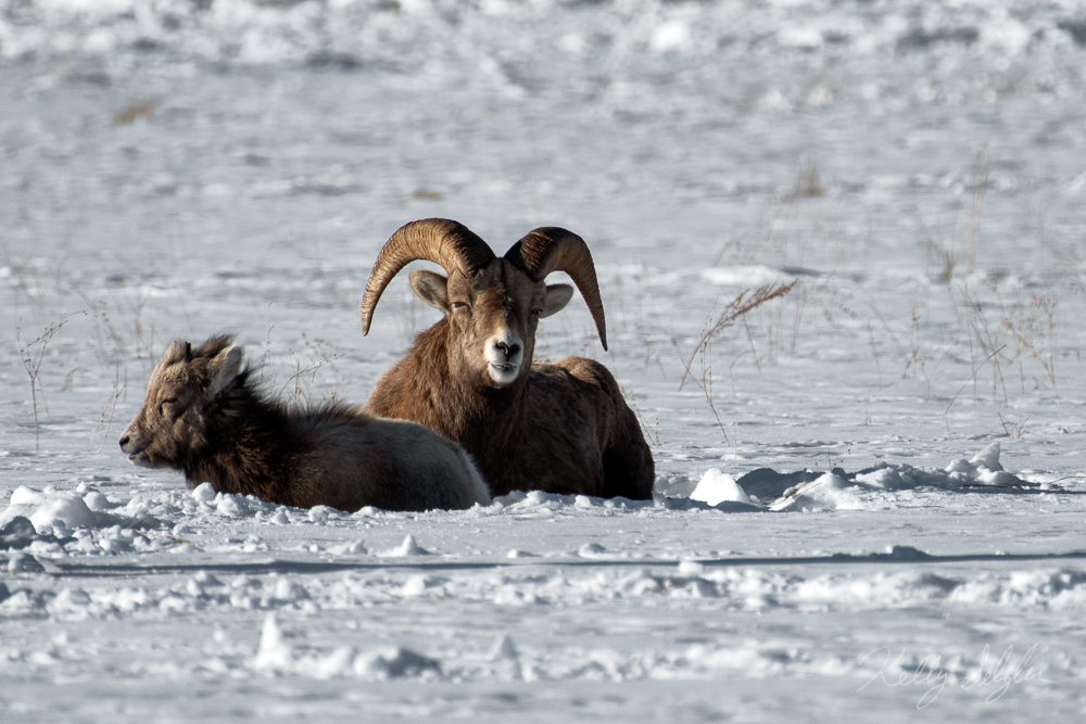 A large herd of these mountain sheep were relaxing in the sun on a cold winter afternoon.