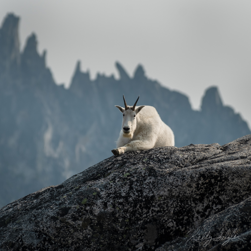 This mountain goat was posing for me!